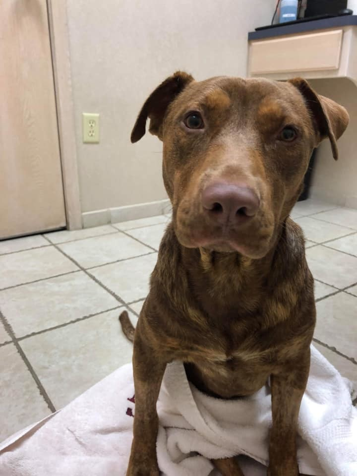 Malone, an adopted Pit Bull Terrier Mix in Cypress, TX
