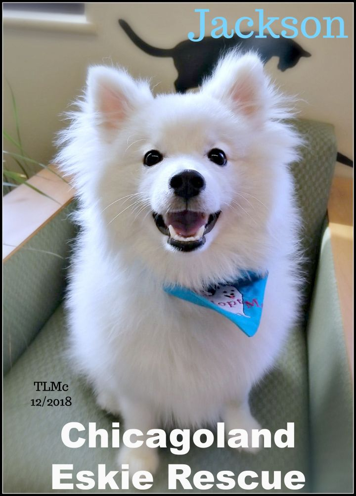 Jackson, an adopted American Eskimo Dog in Elmhurst, IL