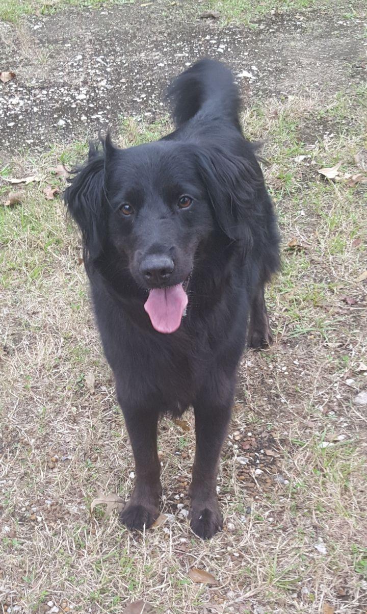 Top Dog for adoption - Hunter, a Flat-Coated Retriever & Border Collie #ZC32