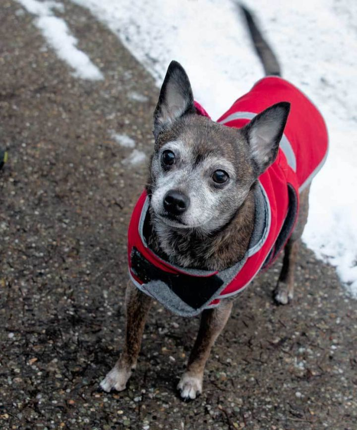 Dingo, an adopted Chihuahua & Terrier Mix in Port Townsend, WA