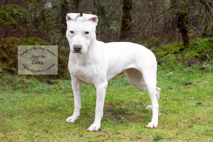 LANA, an adopted Pit Bull Terrier & Bull Terrier Mix in Shelton, WA