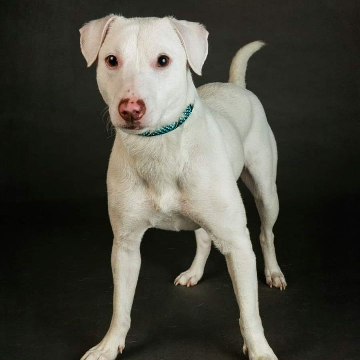 Ambrose, an adopted Jack Russell Terrier Mix in Bloomington, IL