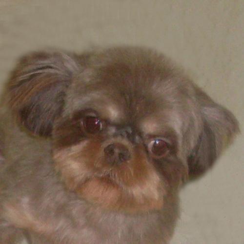 Dog For Adoption Penelope A Shih Tzu In Trufant Mi Petfinder