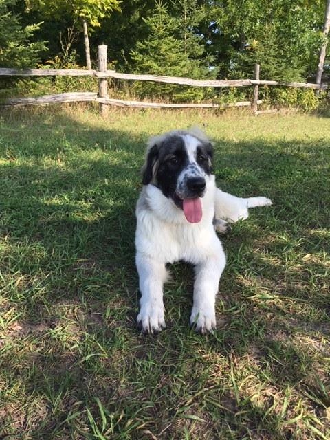 Dog For Adoption Bella A Great Pyrenees Maremma Sheepdog Mix In