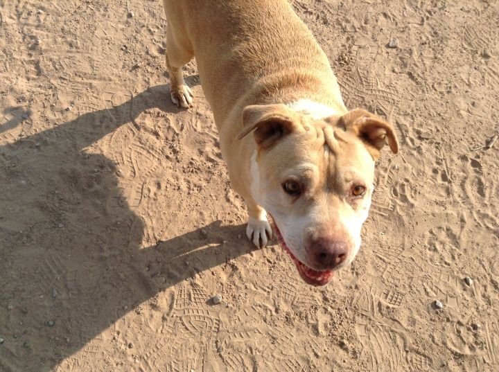 Candy Roo, an adoptable Pit Bull Terrier Mix in Jean, NV