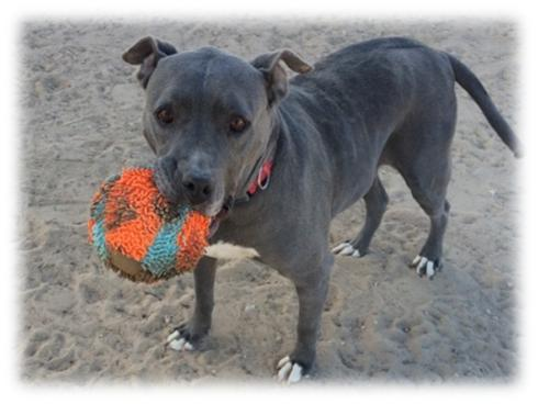Foxy Roxy, an adoptable American Staffordshire Terrier Mix in Jean, NV