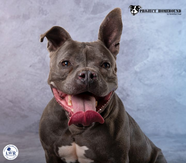 Tyson, an adoptable American Bulldog & Pit Bull Terrier Mix in Jean, NV