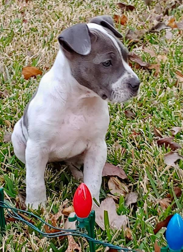 Sophie, an adopted Pit Bull Terrier Mix in Cypress, TX