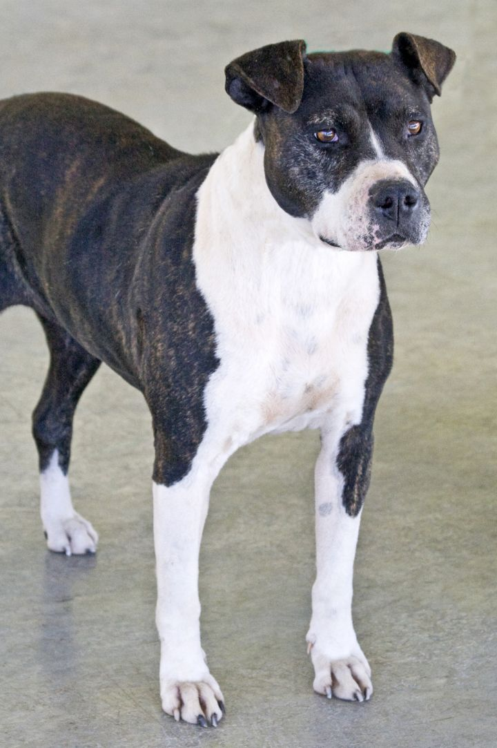Ella, an adopted American Staffordshire Terrier Mix in Columbus, NC
