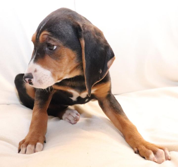 Ellie, an adopted Coonhound & Beagle Mix in Minnetonka, MN
