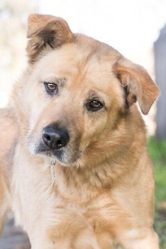 HUSKY BEAR, an adoptable German Shepherd Dog Mix in Point Richmond, CA