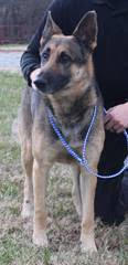 Tyson Ritz, an adopted German Shepherd Dog in Conover, NC
