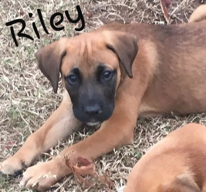 Riley, an adopted Boxer Mix in Cypress, TX