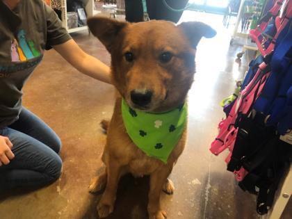 Dog for adoption - Butterball, a Chow Chow Mix in
