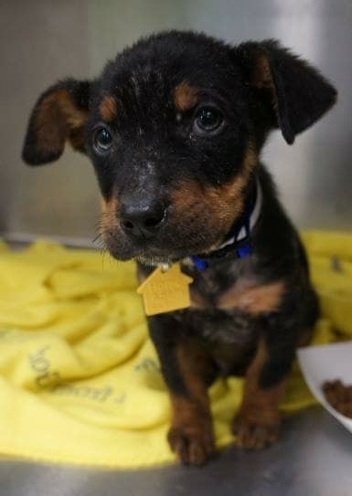 Otto, an adopted Rottweiler Mix in Saint Paul, MN