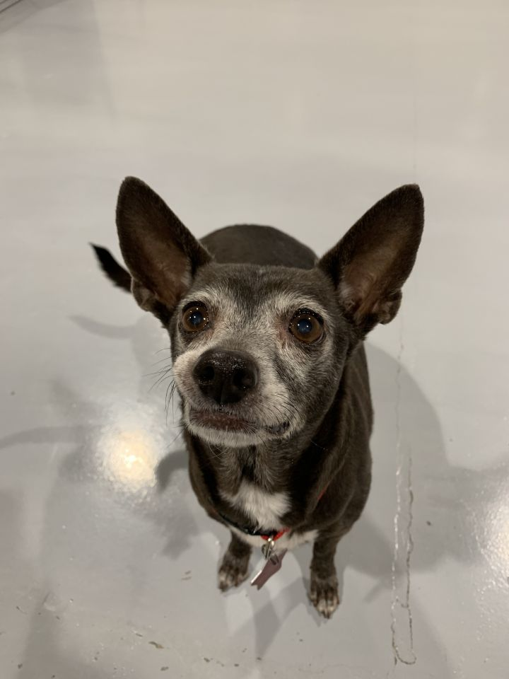 Laverne, an adopted Chihuahua in Seattle, WA