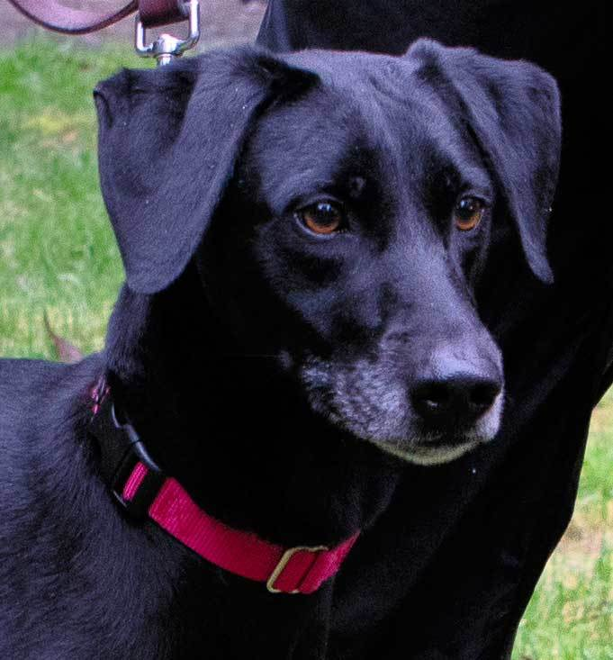 Lexus, an adopted Pointer Mix in Port Townsend, WA