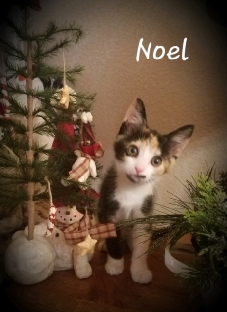 Noel, an adopted Domestic Short Hair in Burbank, CA