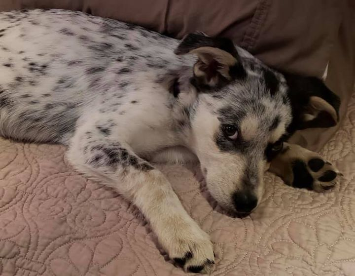 Billie, an adopted Australian Cattle Dog / Blue Heeler Mix in Cypress, TX