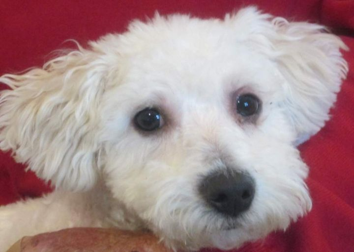 Rennie, an adopted Bichon Frise in Suffolk, VA