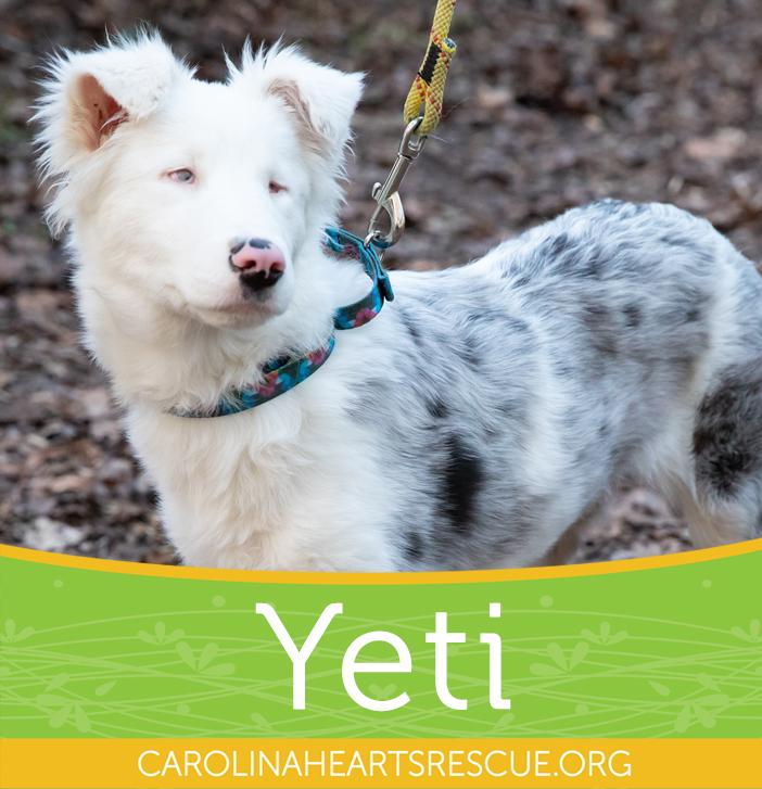 Dog For Adoption Yeti A Border Collie In Manteo Nc Petfinder