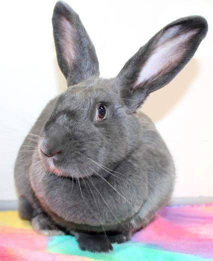 Rabbit for adoption - Sylvie, a Flemish Giant in Baltimore