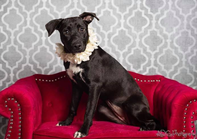 Alli, an adopted Pit Bull Terrier Mix in Cypress, TX