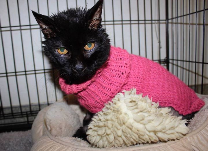 Wooly Bear, an adopted Domestic Short Hair in Grass Valley, CA
