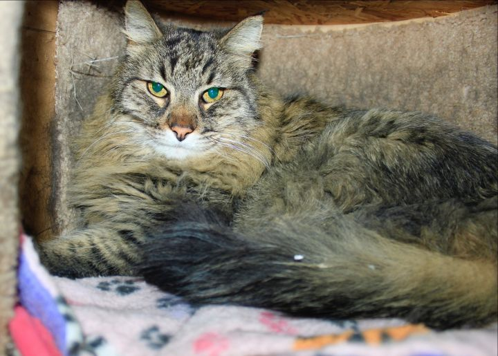 Jake, an adopted Domestic Long Hair in Grass Valley, CA