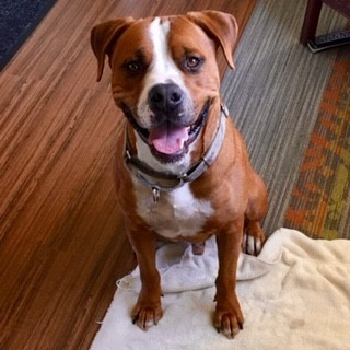 Gus, an adoptable American Bulldog & Boxer Mix in Port Townsend, WA