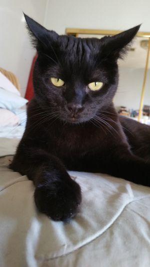 Halo Bombay Cat