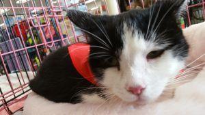 Sammie Tuxedo Cat