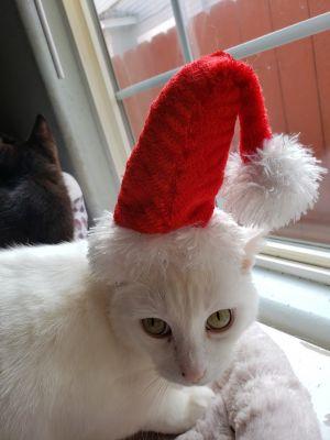 Indie Siamese Cat