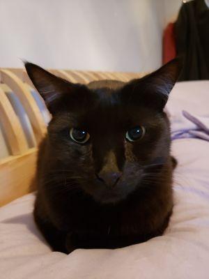 Blueberry Bombay Cat