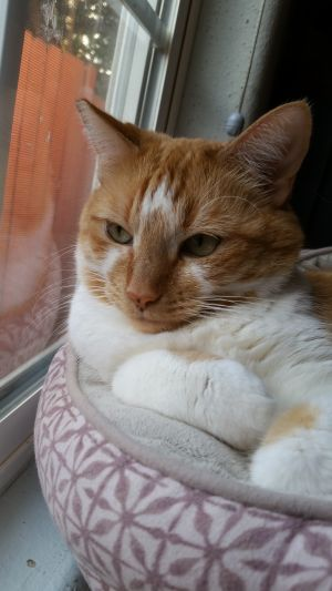 Victoria is a unique female orange tabby girl She is very shy but will warm up with patience and ti