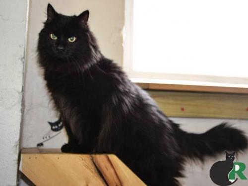 Cat for adoption - Tumi, a Maine Coon & Turkish Angora Mix