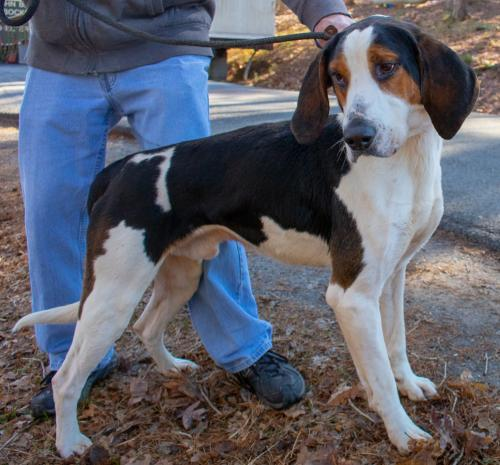 Dexter, an adopted Treeing Walker Coonhound Mix in Clarkesville, GA