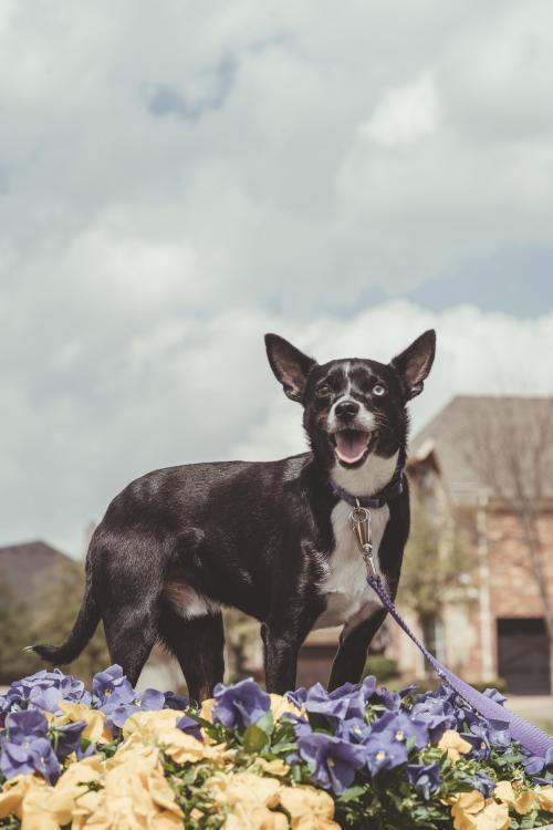 Benny, an adoptable Chihuahua Mix in Dallas, TX