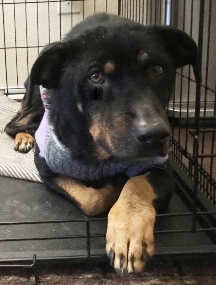 Princess, an adoptable Rottweiler Mix in Dallas, TX