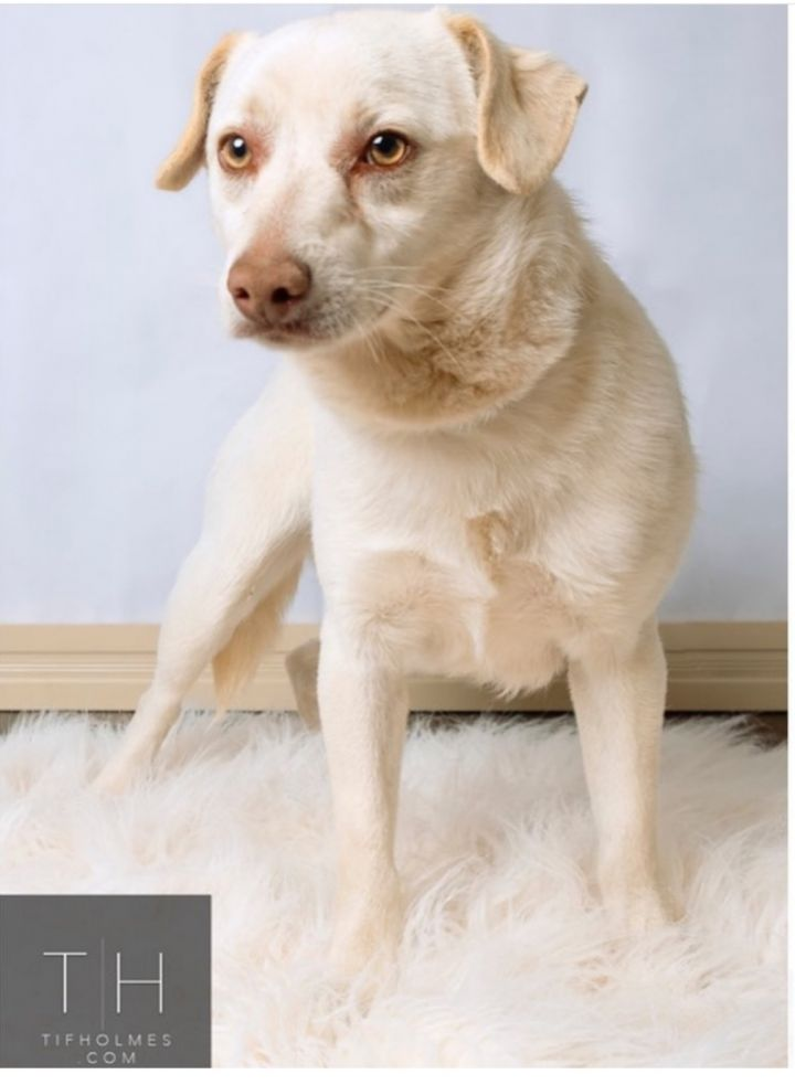 Dog For Adoption Lueche A Chihuahua In Lubbock Tx Petfinder