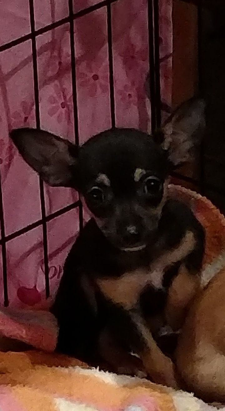 Fawn's Chi puppy #2 2
