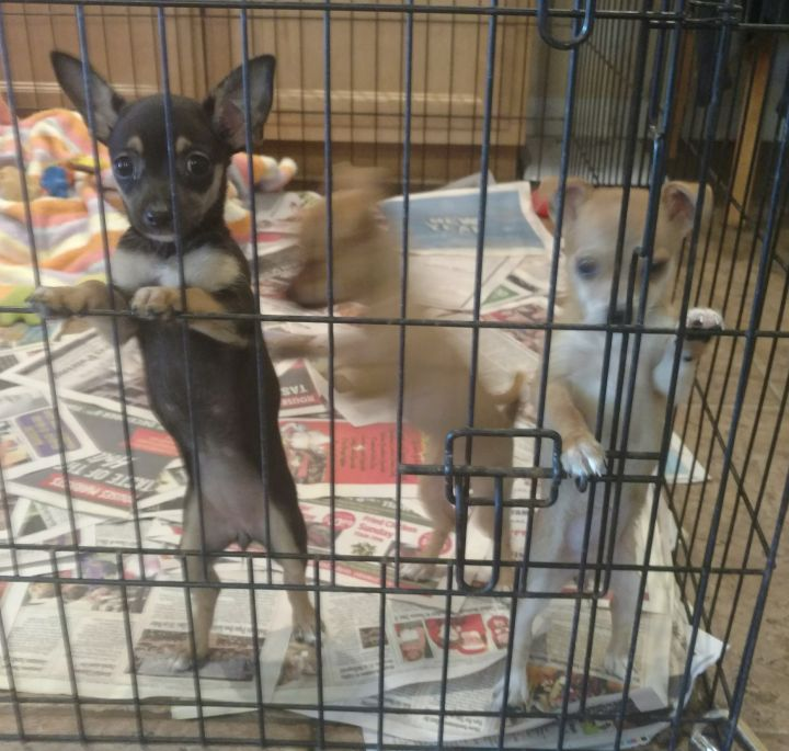 Fawn's Chi puppy #2 3