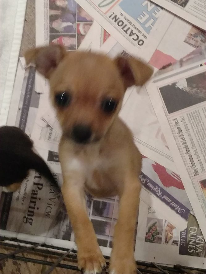 Fawn's Chi puppy #4