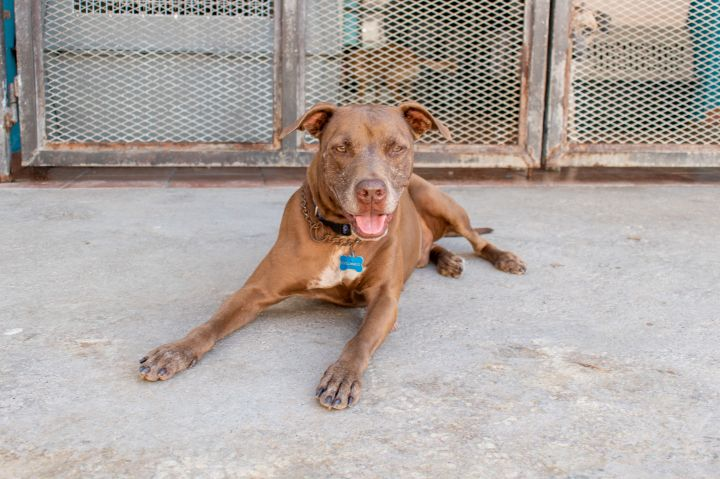Colorado, an adoptable Pit Bull Terrier Mix in Loiza, PR