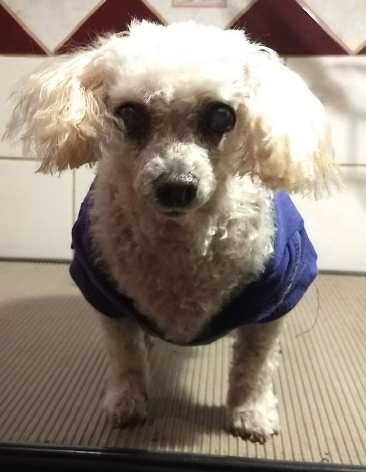 Mandy Mae, an adoptable Poodle in Carlisle, PA