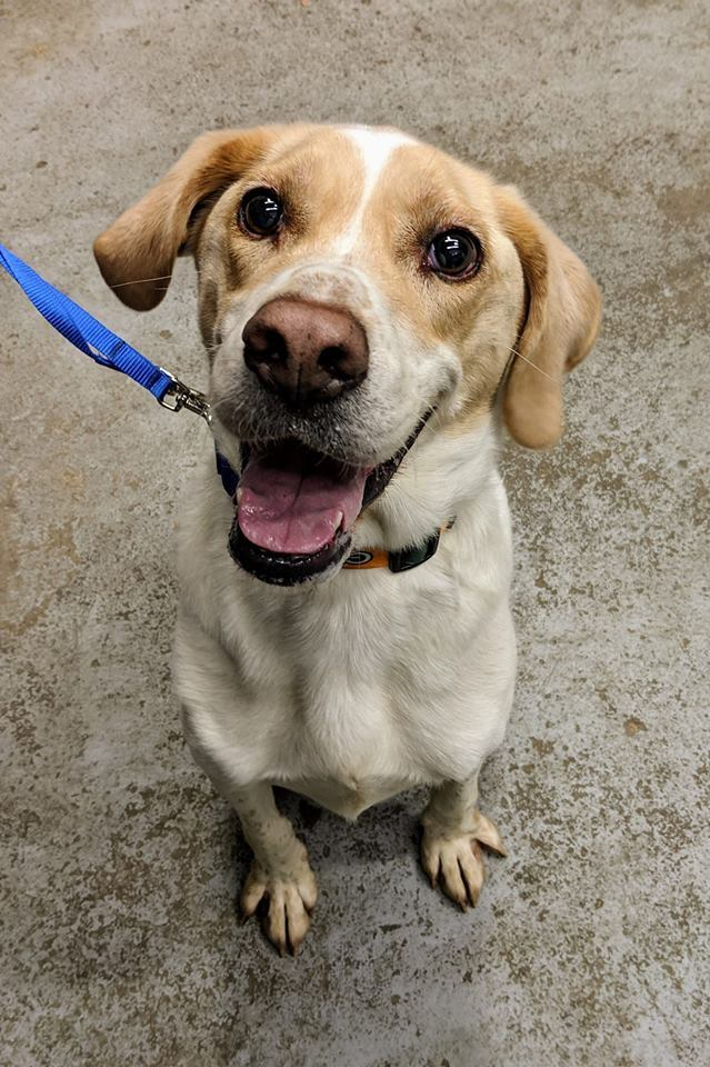 Dog for adoption - Boss, a Treeing Walker Coonhound Mix in