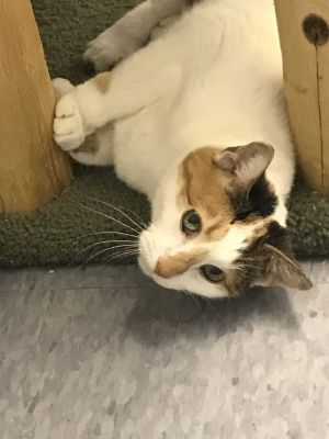 Queens is a quiet calico senior female 15 years old who frequently prefers to sit and observe her