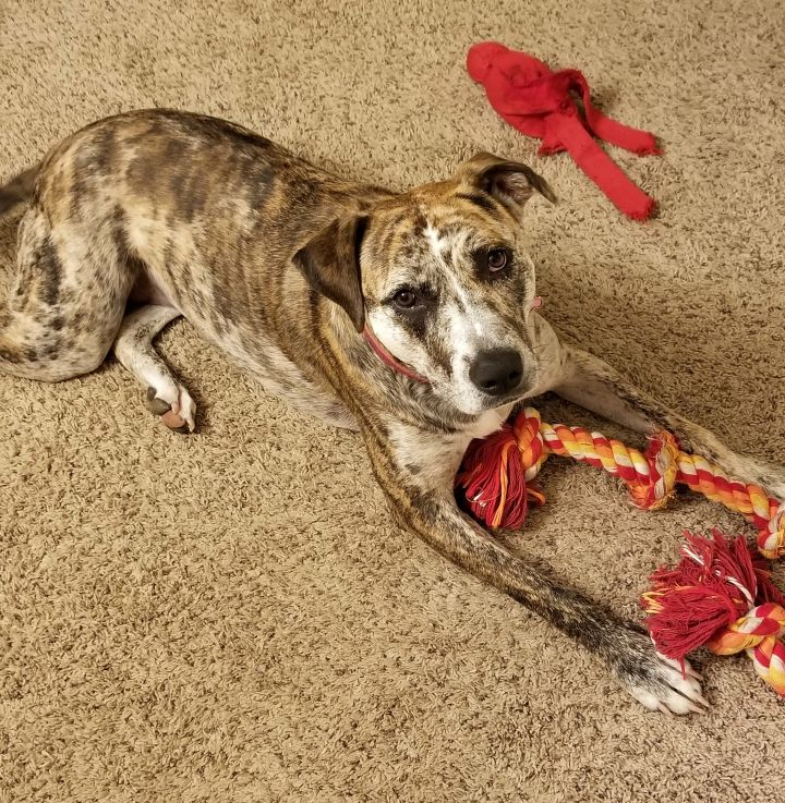 ec2f30ac ... TX Snickers, an adoptable Catahoula Leopard Dog Mix in Denton, ...
