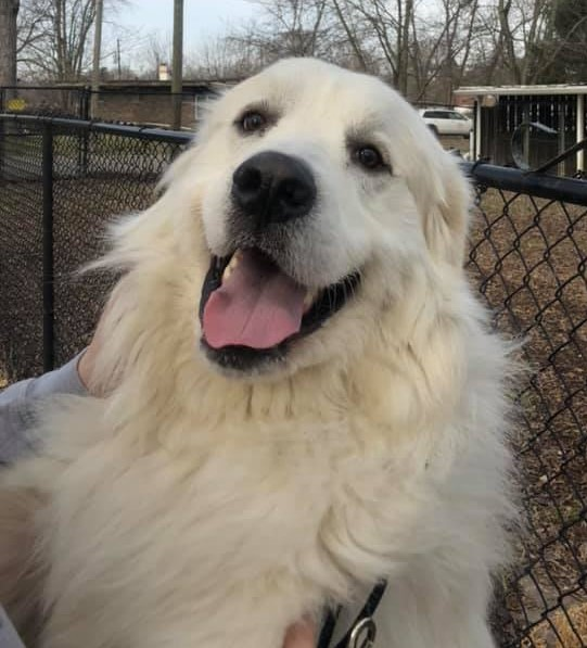 Dog For Adoption Shooter Needs Foster Home Near Indianapolis In
