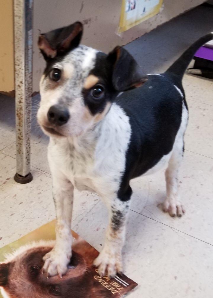 Blue Link Phone Number >> Dog for adoption - Knox, an Australian Cattle Dog / Blue ...